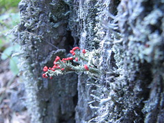 Lichen of somekind I suspect (Different Seasons Jewelry) Tags: camp portland maine picks