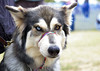 Bi-Eye (Trojan_Llama) Tags: show dog eyes inuit manualfocus heterochromia pawsinthepark smcpentaxm50mmf17 hopfarm bieyed