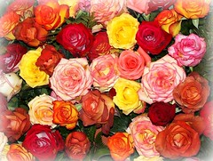 """Welcome, new season ! (tinica50) Tags: roses spring colorful naturewatcher fleursetnature mimamorflowers awesomeblossoms paololivornosfriends """"solofotos"""" solidaritywithcancersolidaridadconelcáncer"""