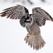 Northern Hawk Owl Hovering