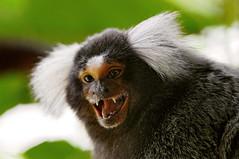 [フリー画像] [動物写真] [哺乳類] [猿/サル] [マーモセット]       [フリー素材]