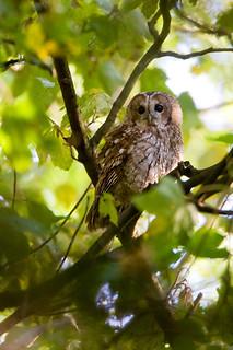 Tawny Owl - D2X6877