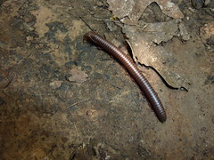 Millipede (sfgamchick) Tags: statepark illinois millipede savanna greatriverroad illinoisstatepark mississippipalisades mississippipalisadesstatepark