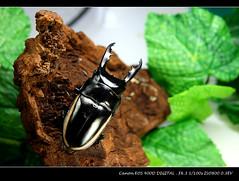 pw 華勒斯鋸鍬 (我一定會成功) Tags: 寵物 獨角仙 甲蟲 鍬形蟲