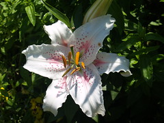 lily (Gloria1207) Tags: summer white flower shadows lily oriental mygarden gmm1207 gloria1207