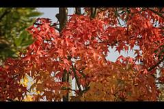 Autunno (Giulio Serafini Foto) Tags: autumn canon sigma 17 70 autunno acero 40d