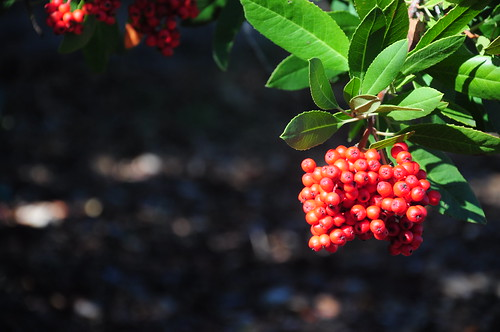 How about some Toyon berries in bloom? Who says California doesnt have fall color?