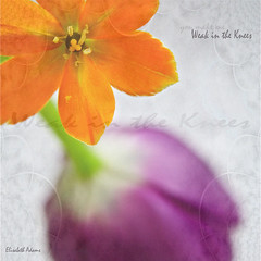 (you make me) Weak in the Knees (elisabeth adams) Tags: flowers two orange flower macro texture love floral fleur closeup square hope petals peace purple text joy happiness tulip bloom layers blooms inspire adobeillustrator jetadore flowerart enchanting floralart jetaime creativephoto flowerphotography petalart greenstem floralphotography abigfave weakintheknees betterthangood natureselegantshots wonderfulworldofflowers lizasenchantedgarden elisabethadams pixel8gallery wwwpixel8gallerycom elisabethadamslloyd youmakemeweakintheknees