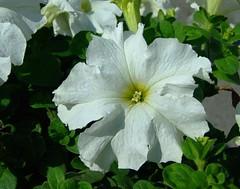 SOLANACEAE  - White Petunia (Petunia x hybrida)  (kaiyanwong223) Tags: favorite solanaceae  petuniaxhybrida flowersarebeautiful whitepetunia  tsingyimtrstation Taxonomy:binomial=petuniaxhybrida