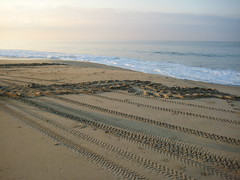 leatherback seaturtle tracks (ABC Dolphin Trainer Academy) Tags: mexico seaturtle puertoescondido leatherbackseaturtle seaturtlerelease seaturtlehatchery seaturtlenesting