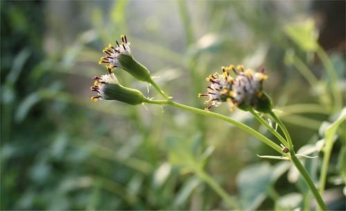 2009 17 nov. cactus chilien en fleur (4)