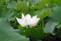 botanic gardens sydney - lotus pond (Gary L Warner) Tags: pond lotus sydney botanicgardens nelumbo nelumbonucifera