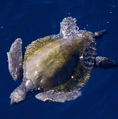Sea Turtle (S@ilor) Tags: west mexico coast turtle seaturtle mignon specanimal oliveridleyseaturtle silor seaturtlewestcoastmexico