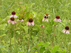stand of coneflowers