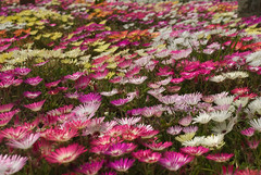 Daisy Field (Chris Noble Photography) Tags: floral westwales colours multicoloured places naturalhistory aberystwyth daisy flowergroup photogenre