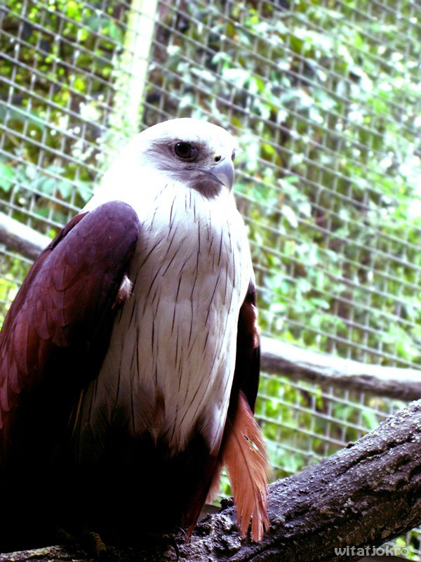27++ Gambar hewan burung garuda terbaru
