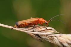 Soldier Beetle (Rhagonycha fulva) (-denju-) Tags: