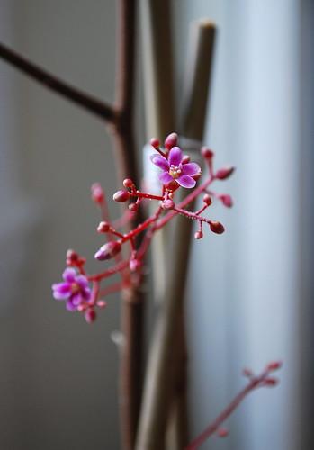 Starfruit Flower 1