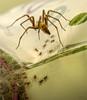 edderkoppmamma med unger