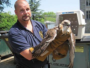 Princeton hawk