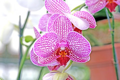 orchid (xeno(x)) Tags: orchid macro nature canon garden asia orchids 2008 xeno 40d