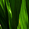 Green (josef...) Tags: pointofview ornamentalgrass naturesfinest artdigital artandphotography goldsealofquality thesuperbmasterpiece musicsbest newgoldenseal