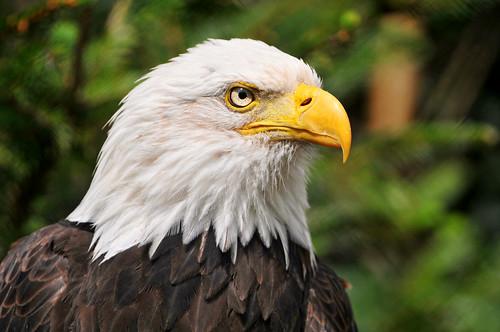 フリー画像| 動物写真| 鳥類| 猛禽類| 鷲/ワシ| ハクトウワシ|      フリー素材|