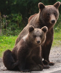 Family Photo (ionut iordache) Tags: standing canon bears romania capture arges canonef70200mmf28lusm coth transfagarasan fagarasmountains muntenia canon450d canoneos450d platinumheartaward canondigitalrebelxsi platinumpeaceaward coth5 mygearandme mygearandmepremium mygearandmebronze mygearandmesilver mygearandmegold mygearandmeplatinum mygearandmediamond