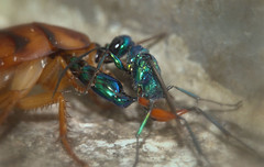 Built for the killed (Cockroach and Emerald cockroach wasp) (Tanzil Tafheem .) Tags: world nature beauty asian photography asia flickr natural desi dhaka be