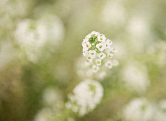 white hbw (gabensysmom (Angela)) Tags: white flower cool bokeh textures elysium alyssum hbw florabella