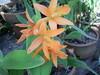 Orquidea que floriu foto nilgazzola (nilgazzola) Tags: de foto sp fotos e ou com tirada maquina echapora arquivos nilgazzola