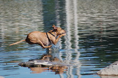 water dog (Tcguy56) Tags: park dog calgary dogs water fetch tcguy56