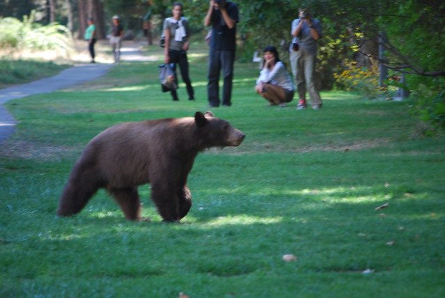 A Yosemite Bear is right at home among visitors. Photo by torhutchins