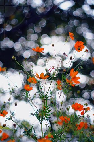 Orange Cosmos Flowers [Cosmos sulphureus]; Keihin Canal, Tokyo