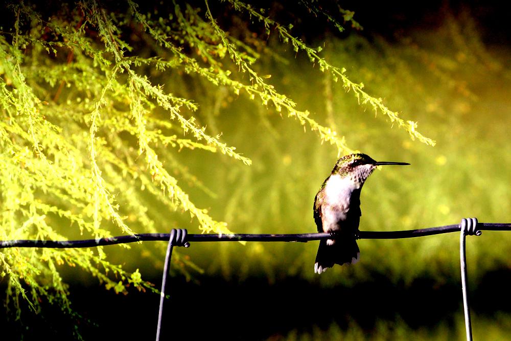 Pioneer Hummingbird