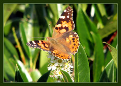 Vanessa cardui ( Annieta  Off / On) Tags: friends red holland color green nature canon butterfly ilovenature island groen nederland thenetherlands natuur powershot september s2is rood farbe colori canonpowershots2is 2009 couleur rosehip allrightsreserved schmetterling vlinder eiland kleur distelvlinder naturesfinest rozebottel supershot distelfalter annieta bej abigfave buzznbugz macromarvels goldstaraward rubyphotographer usingthisphotowithoutpermissionisillegal dontusethisphotoitsillegal vanessacarduiallrightsreserved
