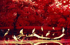 Fantasia sobre garas reais (filme Infrared) (Valcir Siqueira) Tags: art birds landscape aves infrared pssaros garas herons paisagens specialeffects efeitosespeciais colorphotoaward goldstaraward