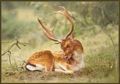 All rutted out (hvhe1) Tags: holland nature netherlands animal season bravo stag searchthebest wildlife deer bambi fallowdeer duinen fallow awd rut interestingness2 rutting naturesfinest amsterdamsewaterleidingduinen supershot dezilk specanimal hvhe1 hennievanheerden impressedbeauty vosplusbellesphotos