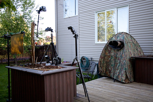 Hummingbird high speed flash photography setup