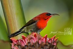 Crimson Sunbird (Joseph Tham Weng Cheong) Tags: crimson nikon d200 sunbird