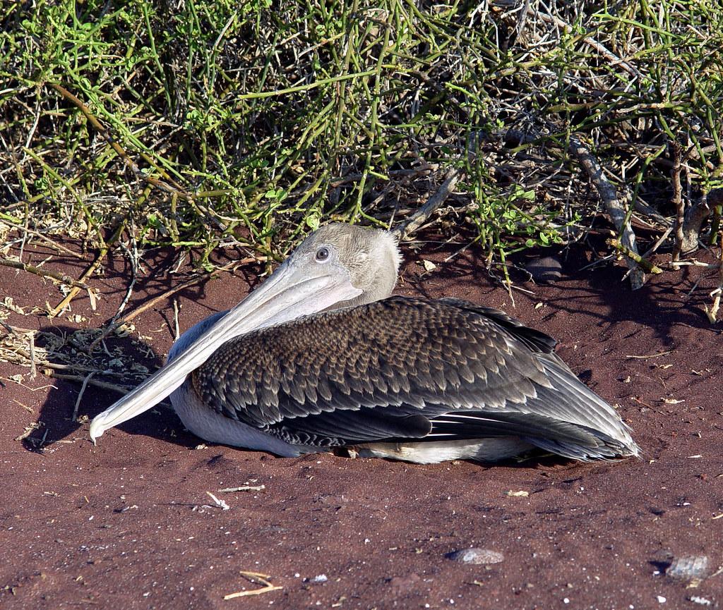 DSC01027 Galapagos Brown Pelican