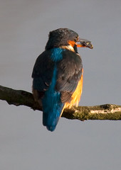 Kingfisher (female) (nickpix2012) Tags: norfolk kingfisher soe fakenham alcedoatthis sculthorpe blueribbonwinner abigfave platinumphoto superaplus aplusphoto diamondclassphotographer flickrdiamond overtheshot damniwishidtakenthat sculthorpemoorcommunitynaturereserve
