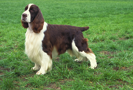 eng springer spaniel mary bloom