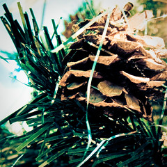 25 days of christmas (2/25) - pinecone (deb1edeb) Tags: holiday macro canon group orangecounty irvine grouppool powershots90 25daysofchristmasphotochallenge