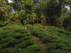 Uphill (Reaching out....) Tags: srimongal noshinrahman