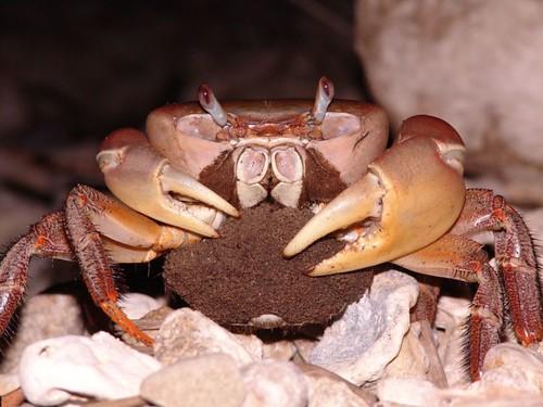 抱卵凶狠圓軸蟹。圖片來源:墾管處