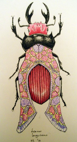 Langerhans beetle