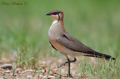 Black-wing Pratincole - please wait the loading () Tags: pratincole   glareola blackwing   nordmanni  pratincole