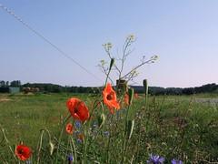 Wildblumen Usedom 466 (MKonair) Tags: strand meer urlaub insel ostsee usedom heringsdorf achterwasser klpinsee