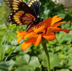 borboleta (Paulo Mattes) Tags: borboletas borboleta macro nature natureza flores flower flor